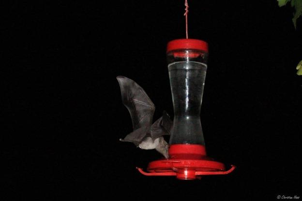 Mexican Long-tongued bat
