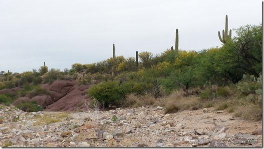Mesquite, palo verde, saguaro - not typical black bear habitat.